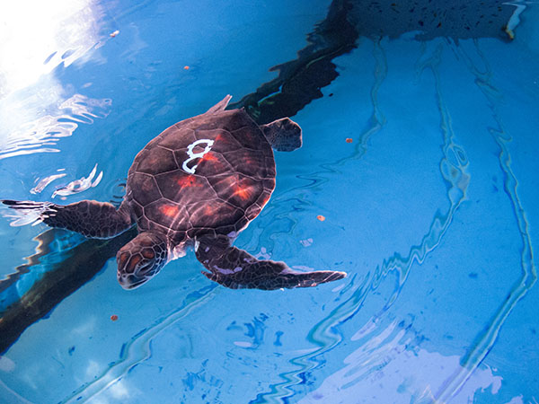 """Turtle B: Characteristics: gentle, friendly, wants to play, silly, goof   Pā'ani -  playful  Le'ale'a Makuakai - to have fun or to have a good time (Le'ale'a); """"Guardian of the sea"""", to take care of the ocean (Makuakai)  Kūnoa - Freedom, complements personality and was born on 4th of July. Photo courtesy Maui Ocean Center."""