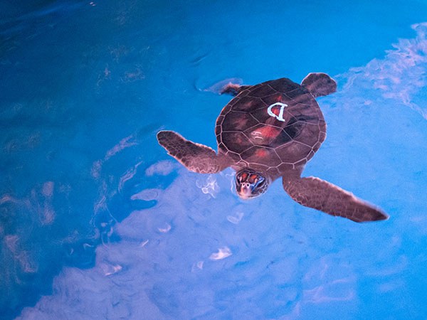 Turtle D: Characteristics: Meaty, quick grower, patient, curious   Akamai - Clever, intelligent  Ahonui - patient, enduring  Wiki Wiki - quick,fast  Polunu hākilo  – chubby, snoop  Lipaki - Liberty, complements personality and was born on 4th of July. Photo courtesy Maui Ocean Center.