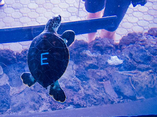 Turtle E: Characteristics: Shy, sensitive, prefers to stay behind-the-scenes   Kanuha - One who sulks  Hila -  shy, bashful, timid  Ūpē - humble, bashful. Photo courtesy Maui Ocean Center.
