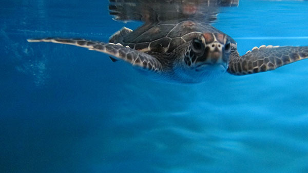 Turtle F: Characteristics: Very calm, docile, well-behaved   Haku -  Overseer or supervisor  Akahai -  gentle, docile, unassuming  Mohalu - At ease, relaxed. Photo courtesy Maui Ocean Center.