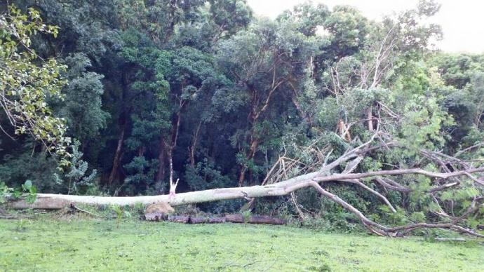 Honokohau tree down 1/3/15 - Image: Tasha Gomes