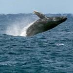 Whale breaching off Ho'okipa 1.27.15 / Image: Jimmie Hepp