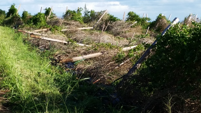 Lilokoi vines down in Waikapu 1/3/15 - Image: Kurt Sloan