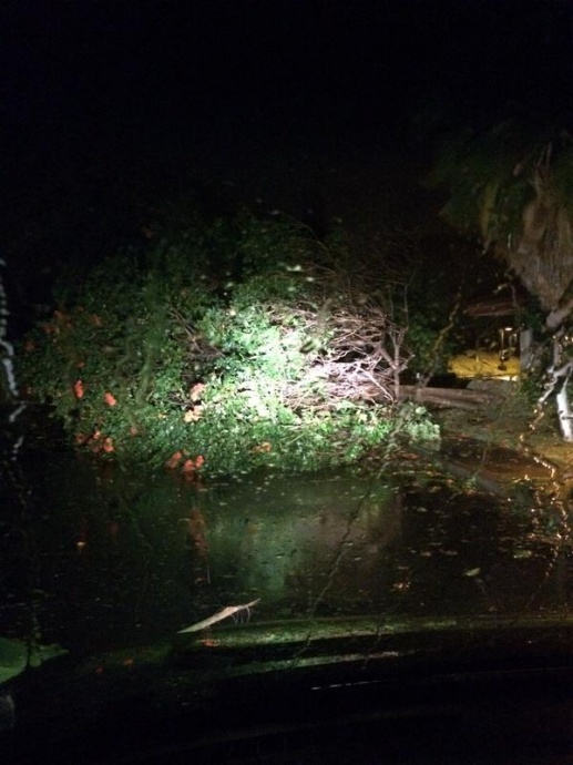 Tree down in Maui News Parking Lot 1/3/15 - Image: Jose Castellanos