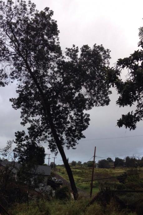 Tree (before) it fell on Copp Road 1/2/15 -  Image: Gretchen Cardosa