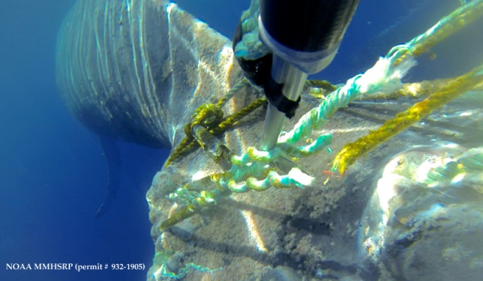 Camera on pole with flying cutter knife shows last cut being made to free the whale. (Courtesy of E. Lyman - NOAA HIHWNMS MMHSRP  permit # 932-1905)