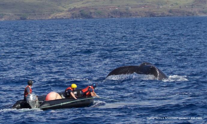 Response team in inflatable holding on to line trailing behind entangled whale. Pictured in inflatable from left: Grant Thompson, Nicole Davis, and Ed Lyman. Flukes shown in image are of companion whale. (Courtesy of R. Finn - NOAA HIHWNMS MMHSRP  permit # 932-1905)