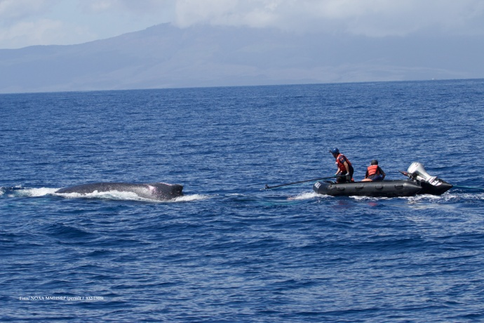 Response team in inflatable with flying cutter. Pictured from left: Ed Lyman and Grant Thompson. (Courtesy of R. Finn - NOAA HIHWNMS MMHSRP  permit # 932-1905)