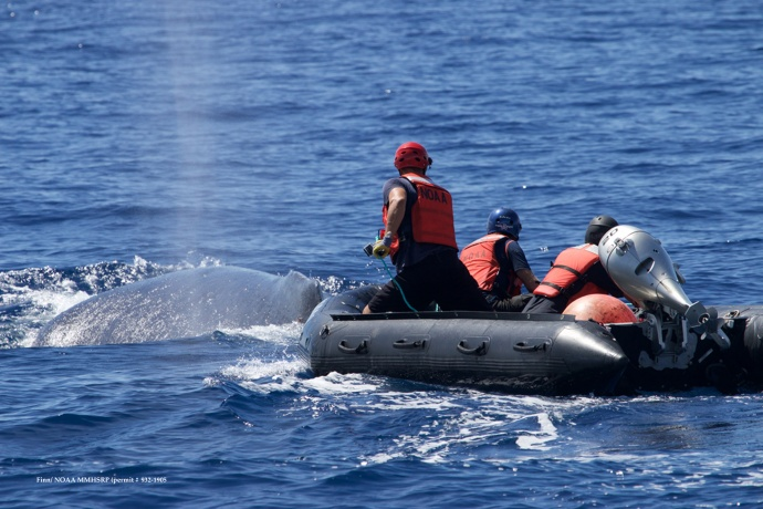 Response team in inflatable with flying cutter. Pictured from left: Lee James, Ed Lyman and Grant Thompson. (Courtesy of R. Finn - NOAA HIHWNMS MMHSRP  permit # 932-1905)