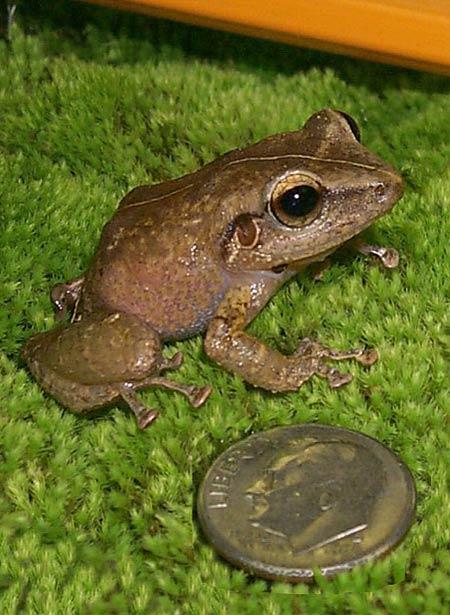 Coqui frog. Photo credit HISC.