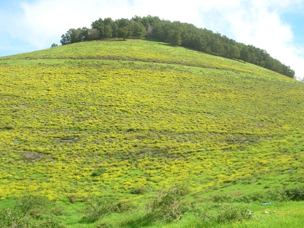 Field of fireweed on Maui. Photo credit Forest and Kim Starr.