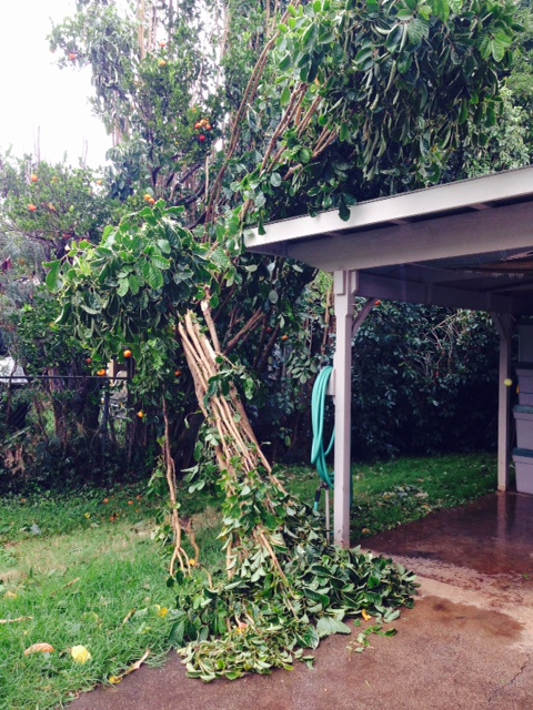 Trees blown down in Makawao near Kalama School. Photo: Debra Lordan