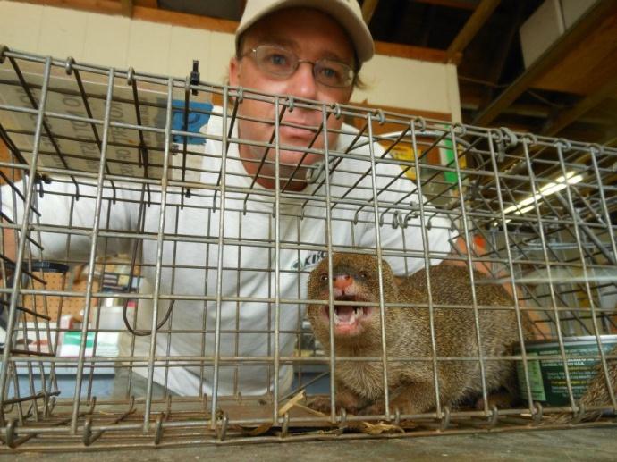 KISC staff Pat Gmelin with first live mongoose captured on Kauai.  Photo credit Keren Gundersen.