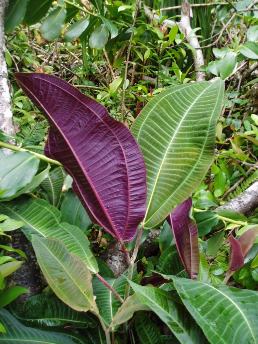 Miconia purple and green leaves. Photo Credit: Oahu Invasive Species Committee.