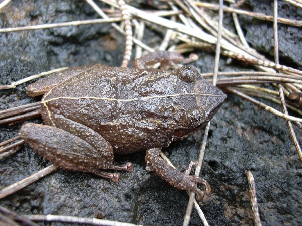 Coqui frog. Photo credit Forest and Kim Starr.