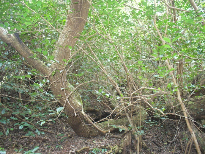 koa tree vs Strawberry guava_Photo credit OISC