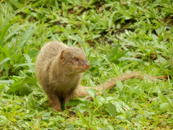 Mongoose on Maui.  Photo credit Forest and Kim Starr.