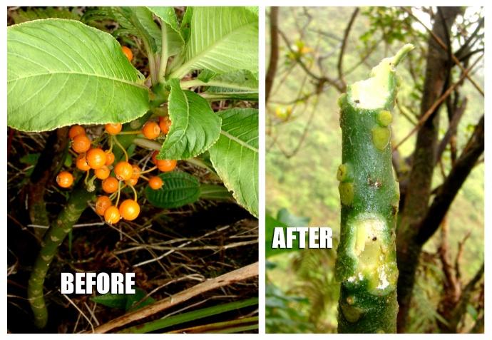 Rat damage to native plant cyanea acuminata. Photo credit: removeratsrestorehawaii.org