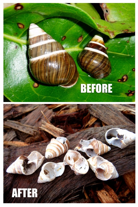 Rat damage to native snails achatinella mustelina. Photo credit: removeratsrestorehawaii.org