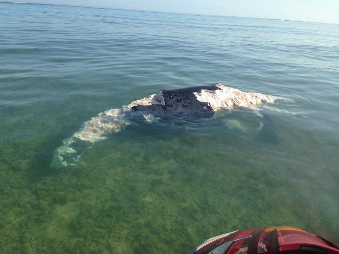 Whale carcass at Kanahā. Photo courtesy County of Maui, Ocean Safety division.