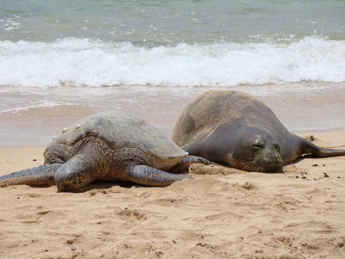Hawaiian monk seals and green sea turtles bask on many coastlines throughout Hawai'i. Credit: Barbara Billand/NOAA.