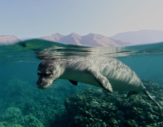 Hawaiian monk seals usually sleep on the beaches of the Hawaiian Islands. They can also sometimes be seen sleeping underwater in small caves.  Credit: Ed Lyman/NOAA