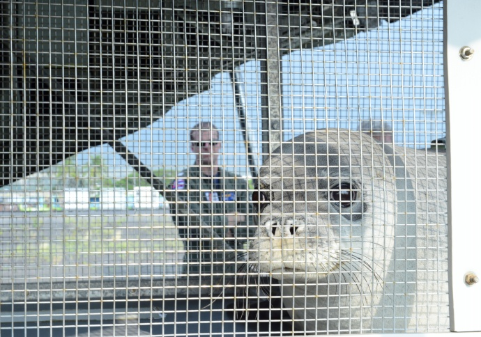 Lt. Andrew Kauffman, an HC-130 Hercules airplane pilot from Coast Guard Air Station Barbers Point, observes the onload of a Hawaiian Monk Seal in Kona, Hawaii, March 18, 2015. Coast Guard crew members, National Oceanic and Atmospheric Administration, U.S. Fish and Wildlife Service and the Department of Land and Natural Resources partnered together to transport two rehabilitated Hawaiian Monk Seals to Midway Atoll where they would be transferred via ship to Kure Atoll State Wildlife Sanctuary. (U.S. Coast Guard photo by Petty Officer 2nd Class Tara Molle) NMFS permit #932-1905-01/ma-009526-1