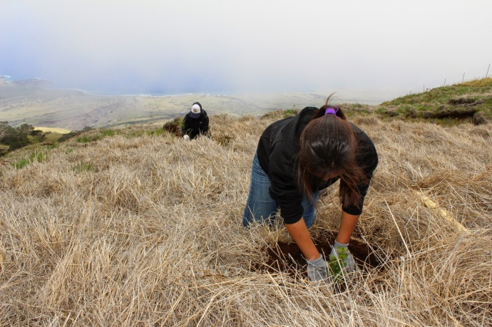 Outplant trees at_Nakula Natural Area Reserve, Maui. Photo by Kirsten Gallaher.