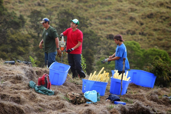 Kupu Hawai'i Youth Conservation Corps volunteers outplanting trees at Nakula Natural Area Reserve, Maui. Photo by Kirsten Gallaher.