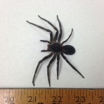 """3.5"""" Venomous Spider Found in Foreign Container"""