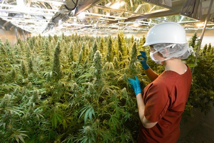 Employees inspect marijuana plants at Green Man Cannabis growing facility in Colorado. Photo credit: Green Man Cannabis.