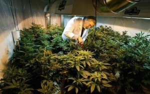 Employees inspect marijuana plants at Green Man Cannabis growing facility in Colorado. Photo credit: Green Man Cannabis.