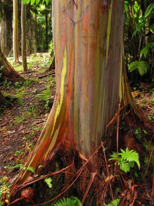 Rainbow eucalyptus, Keanae Arboretum.