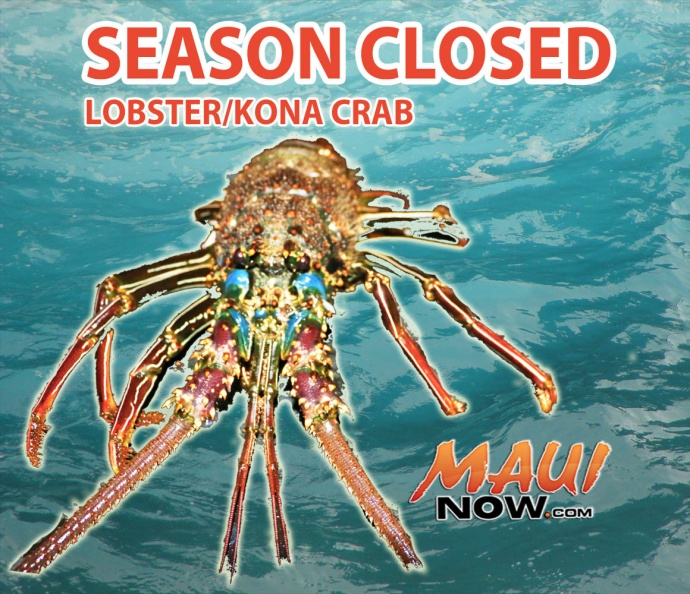 Season closed on Lobster and Kona Crab. Graphics by Wendy Osher. Lobster image DLNR.