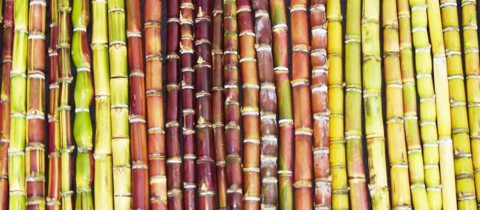 Ko is a variety of Hawaiian sugarcane that can be found growing at Maui Nui Botanical Gardens. Photo by Maui Nui Botanical Gardens.