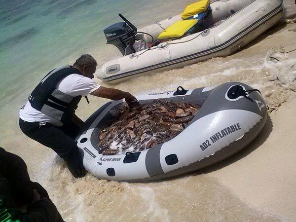 Sea cucumber over harvest, photo taken at Kaiona beach, Waimanalo.  Photo Credit: Ocean Defender Hawaiʻi.