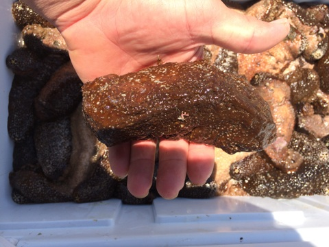 Harvested sea cucumbers on Maui. Photo credit: DLNR.
