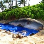 Pygmy Sperm Whale Beached on Maui, Flown to Oʻahu