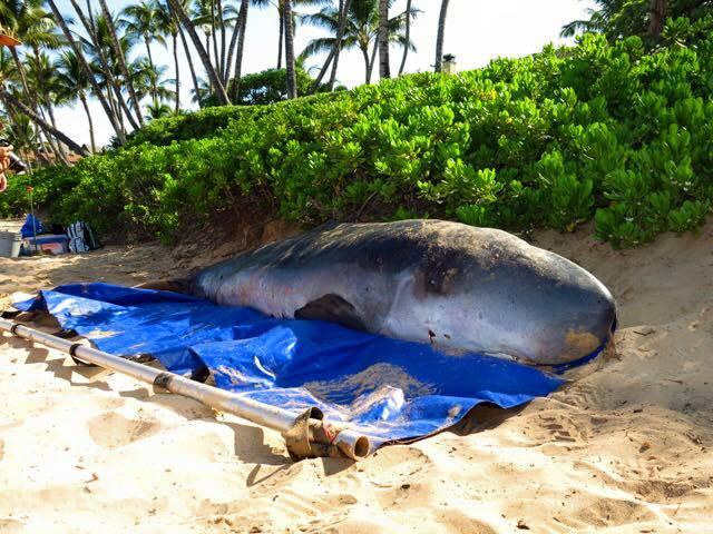 Image courtesy: Peg Alm via Ocean Defender Hawaiʻi.