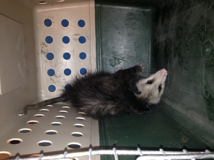 Opossum captured in Kakaʻako, July 16, 2015. Photo courtesy Hawaiʻi Department of Agriculture.