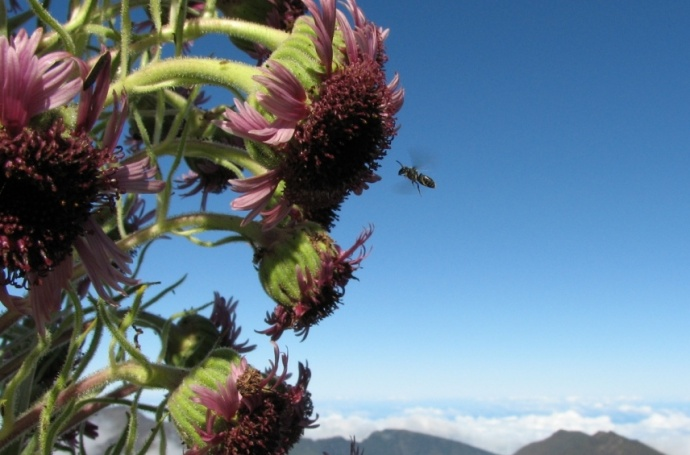 Bees and silversword. NPS photo.