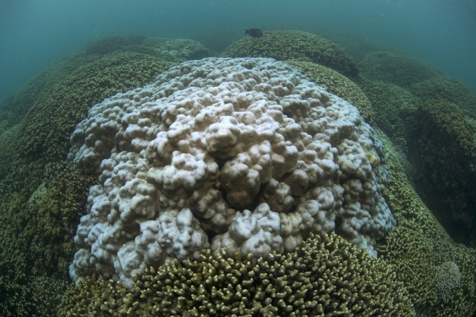 Bleached Coral in Kāheʻohe Bay Hawaiʻi. Photo credit: XL Catlin Seaview Survey