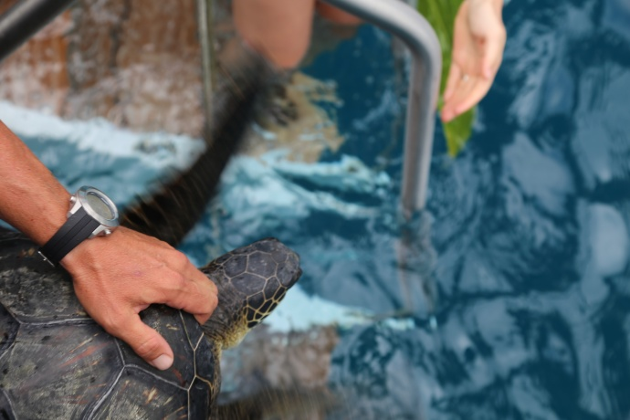 Turtle release 2015. Photo credit: Maui Ocean Center.