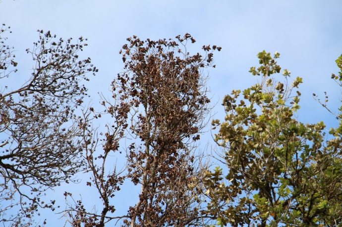 Ohia wilt. Image credit UH-CTAHR/ J. B. Friday.
