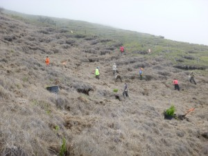 Maui and Hawaii NEPM crew planting at the Nakula Natural Area Reserve