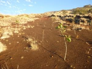 Nakula Natural Area Reserve erosion scar planting_landscape