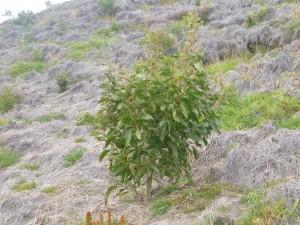 Nakula Natural Area Reserve koa planting