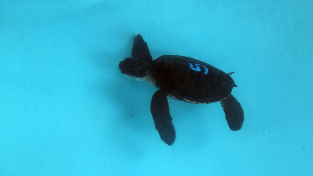 The Maui Ocean Center recently welcomed six 2-month-old green sea turtle hatchlings. Photo credit: Maui Ocean Center.