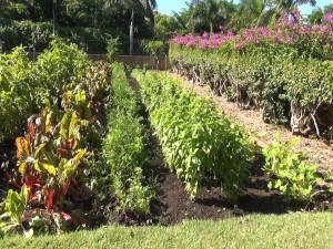 Rows of vegetables in the garden at Four Seasons Resort Maui. Photo by Kiaora Bohlool.