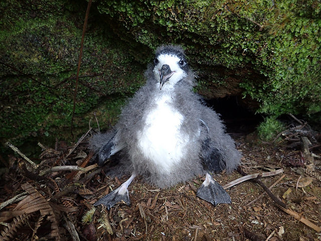 Hawaiian petrel chick in its old burrow on the mountain. Photo credit: Andre Raine/Kaua'i Endangered Seabird Recovery Project.
